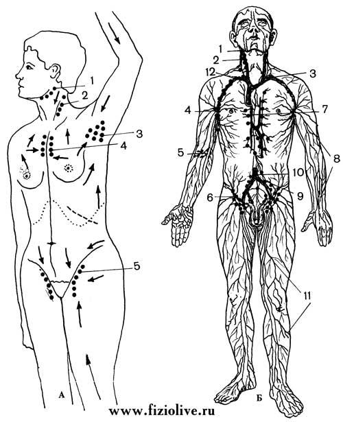 Схема: лимфатические сосуды