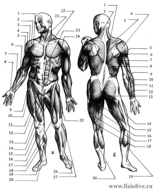 Общая схема строения мышц