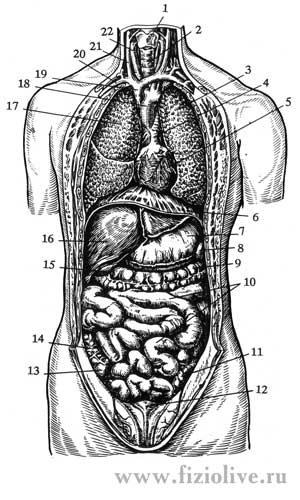 пищеварительная система человека схема - Рабочие схемы и описания в быту.