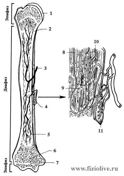 Схема строения трубчатой кости