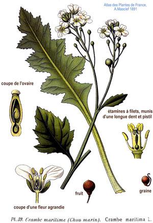 катран фото растение
