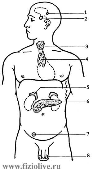 Эндокринные железы являются составной частью системы нейрогуморальной регуляции функций.
