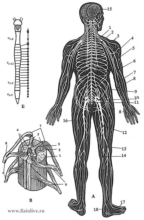 Система Нервная Периферическая
