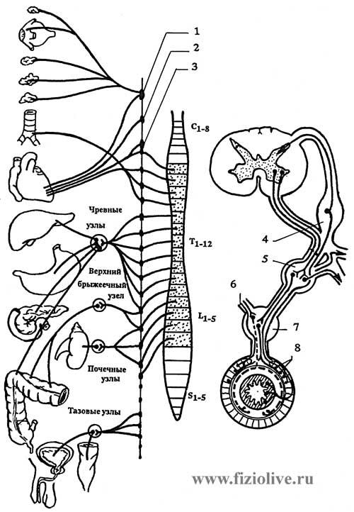 4 — спинномозговой узел,