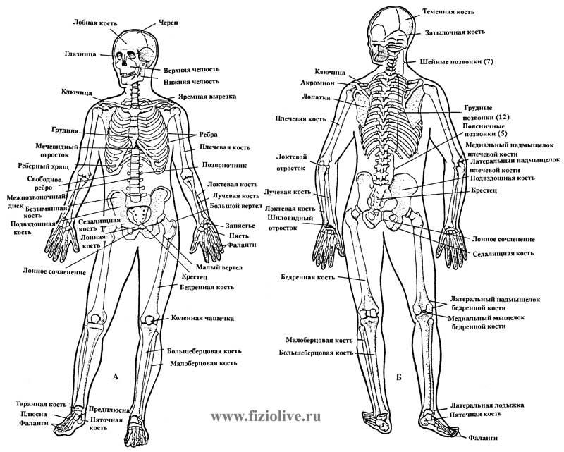 Схема строения трубчатой кости.  Скелет человека, вид спереди и сзади.  Кости тесно связаны с ЦНС через нервные...