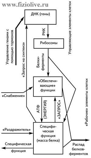 Схема функций клетки
