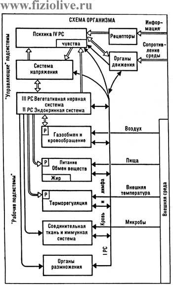 Схема организма (по Н.М.